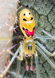 happyface spider