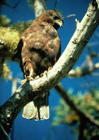 'Io, endangered raptor, Hawaiian hawk
